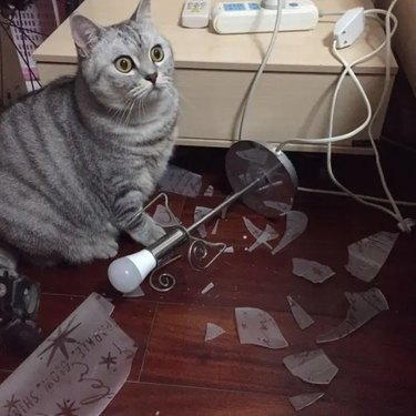 A light gray striped cat looking shocked as they stand in front of a shattered lamp.