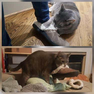 A gray cat attacking someone's slipper and then stealing it.
