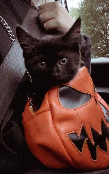 black kitten sitting in pumpkin purse
