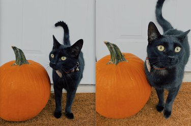 black cat poses with pumpkin