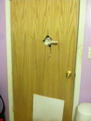 A white cat bursting through a wooden door.