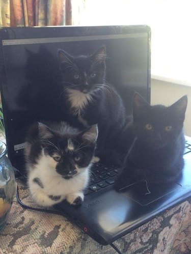 Three kittens sitting on the keyboard of a laptop.