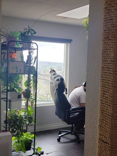 cat straddles an office chair and looks out a window