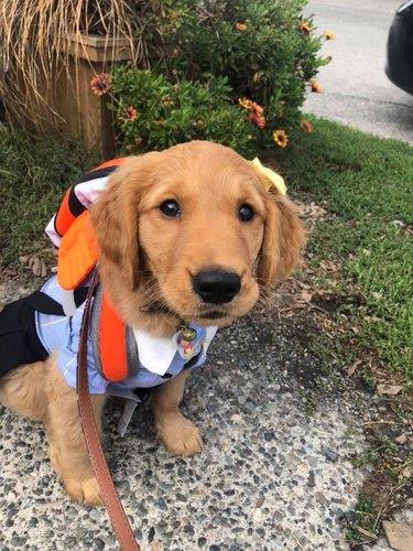 golden retriever wears backpack to school