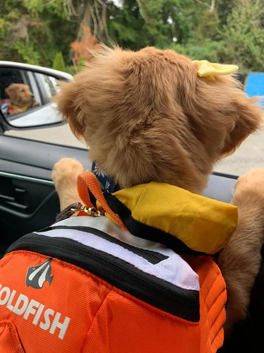golden retriever with a backpack and looking out a car window