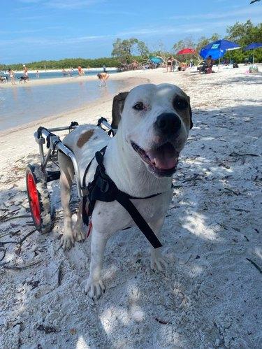 Dog with wheelchair on sandy beach