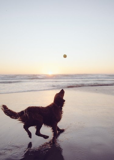 Golden Retriever on beach silhouetted by sunset looking at tennis ball in the air