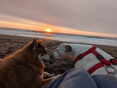 Two dogs touching noses on beach at sunset