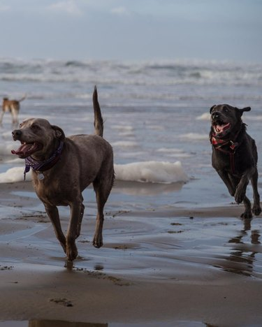 Two dogs running on the beach