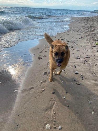 Dog running along shoreline