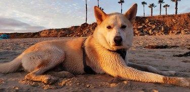Dog laying on sandy beach at sunset