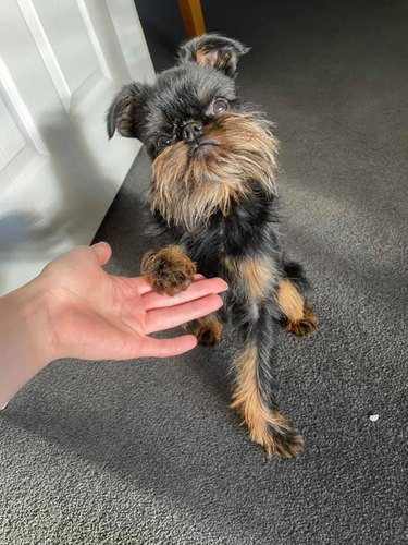 dog puts paw in human's hand