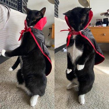 black cat in dracula costume