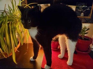 Tuxedo cat with white rear legs