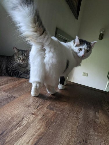 Rear view of fluffy white cat