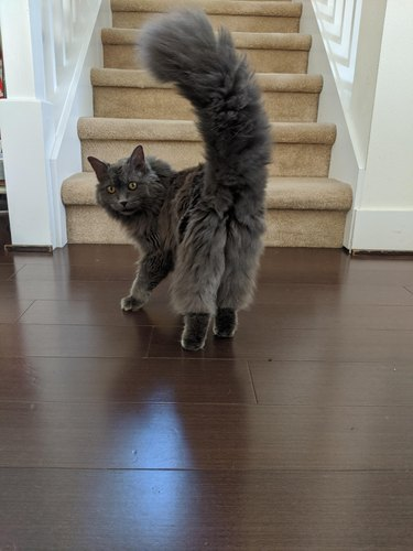 Rear view of fluffy gray cat looking over its shoulder