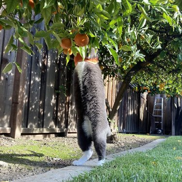 Cat with gray belly and white feet standing on its back legs