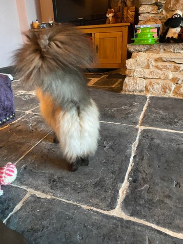 Rear view of fluffy cat with white legs and black feet