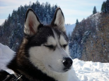 A husky with snow and trees in the background.