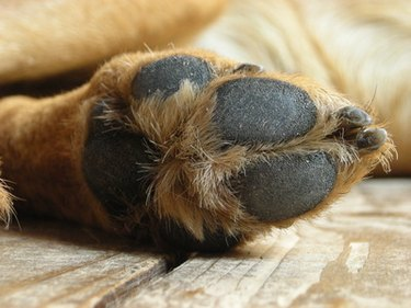 Close up of the bottom of one brown dog paw.