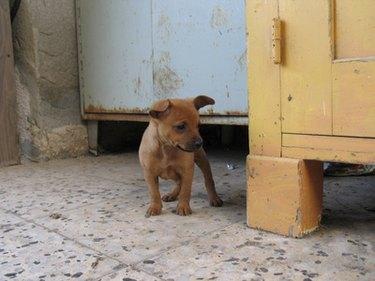 Small puppy explores a room