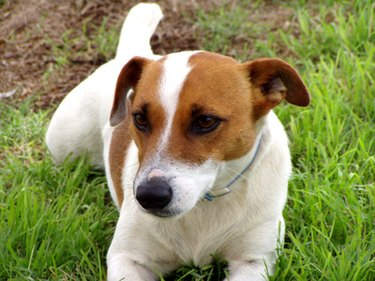 Jack Russell terrier. A golden retriever and Jack Russell are usually compatible.