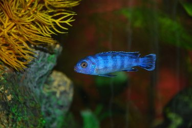 Electric Blue Cichlid