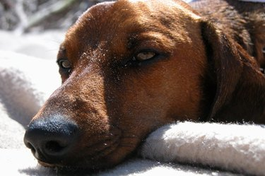 Close-up of a tired brown dog.