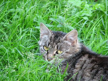 A small gray striped cat in long grass.