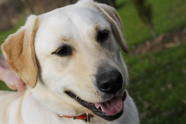 White Labrador retriever. Making fresh foods for dogs is possible.