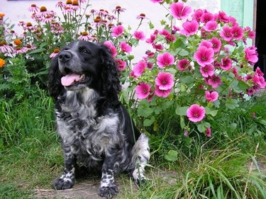 A black and white dog outside by flowers