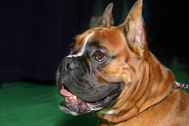 A brown female boxer dog smiling