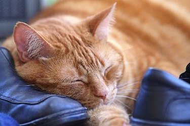 Tabby cat taking a cat nap on a pair of shoes