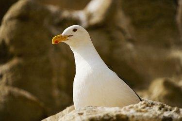 Low angle view of a seagull, La Jolla, California, USA