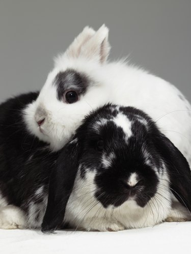 Dwarf-eared rabbit leaning over lop-eared rabbit, close-up