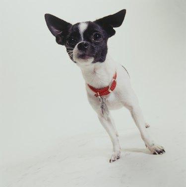 Dog, Chihuahua standing,