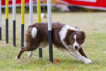 Dog in competition