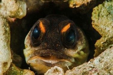Opisthognathidae