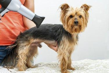 Yorkshire in dog salon.
