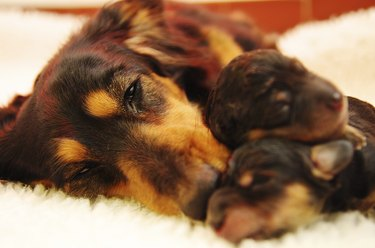 Dachshund mother and pups.