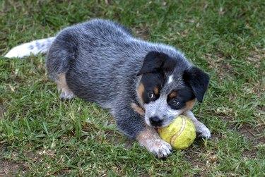Blue Heeler Puppy with Tennis Ball on Grass, Australia