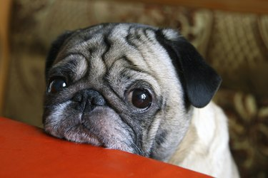 Pug dog with sad eyes sitting at the red table.
