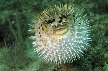 Puffed up blowfish swimming underwater in the ocean