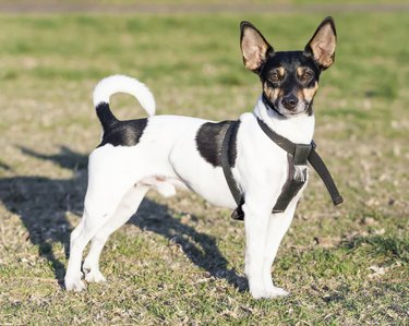 Cute Rat Terrier Dog with Upright Ears Standing on Grass