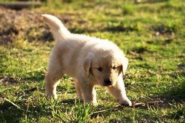 golden retriever puppy exploring