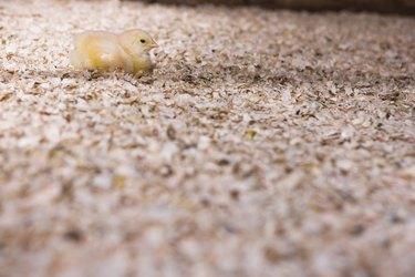 Cute chick in sawdust