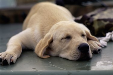 Close-up of a puppy dog sleeping