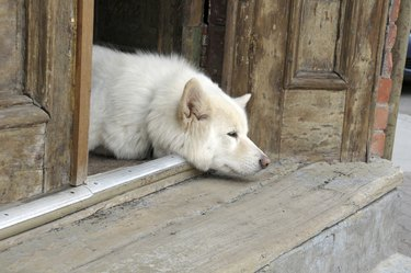 Old white guard dog resting its head on a wooden porch.
