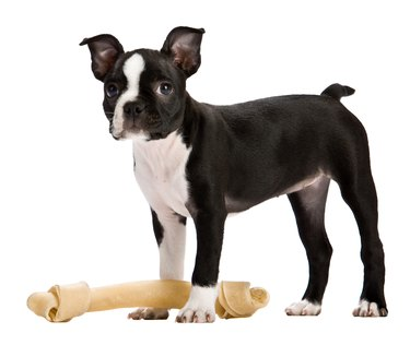 Boston terrier dog standing by bone
