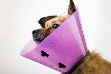 A cute dog wearing a pink Elizabethan collar.